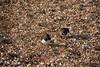 DSC_7424 (Peter-Williams) Tags: brighton sussex uk beach pier birds turnstones