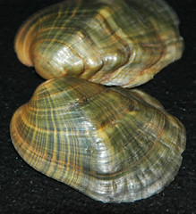 Epioblasma torulosa torulosa (tubercled blossom) 3 (James St. John) Tags: epioblasma torulosa tubercled blossom shell shells bivalve bivalves clam clams mussel mussels extinct species freshwater