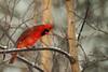 Male Cardinal (langdon10) Tags: bird canada canon70d cardinal novascotia cold outdoors snow trees winter