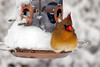 IMG_0075 Waiting Her Turn (oldimageshoppe) Tags: bird femalenortherncardinal cold waiting winter snow