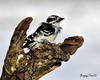 Female Downey..Blowing in the wind. (Underock) Tags: wood bird downey female femaledowney avian wildlife stump log nikon 200500mm d500 white