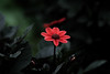 Lonely Flower (arg_photography) Tags: fuji xt1 flower nikon nikkor 180mm f28 ais ed garden nature