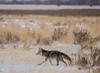 024A9309 (scepdoll) Tags: baldeagle grandtetonnationalpark jackson jacksonhole kelly wyoming backlitcoyote bisoncrossing bisoninheadlights coyote moose owl snow winter unitedstatesofamerica