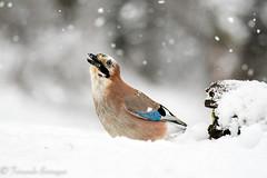 arrendajo ) (barragan1941) Tags: arrendajo aves cremenes2018 fauna nieve pajaros