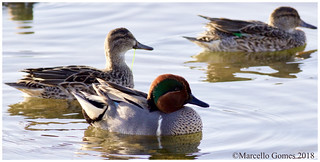 Green-winged Teal (Anas crecca) GWTE -