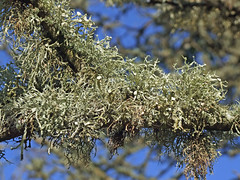 Ramalina calicaris on small branch (Philip_Goddard) Tags: nature naturalhistory lichens fruticose corticolous ramalina ramalinacalicaris europe unitedkingdom britain british britishisles greatbritain uk england southwestengland devon dartmoornationalpark drewsteignton teignvalley teigngorge