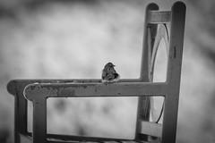Chairs are not just for people, I guess (T.M.Peto) Tags: bird birds morrisville buckscounty pennsylvania pennsylvaniaisbeautiful outdoorpennsylvania animal animals wildlife wildlifephotography wildanimal wildanimals outdoor outdoors outdoorphotography nikonoutdoors nikon nikond3300 nikonphotography adobelightroom lightroom outside god'screation wanderlust blackandwhite blackandwhitephoto