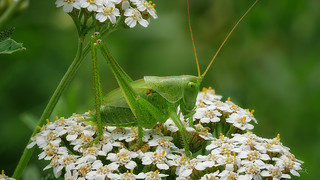 Grünes Heupferd (Tettigonia viridissima) - Nymphe - Männchen