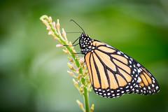 2018-01-30-14h42m14.BL7R9000 (A.J. Haverkamp) Tags: canonef100400mmf4556lisiiusmlens amsterdam zoo dierentuin httpwwwartisnl artis thenetherlands vlinderpaviljoen vlinder butterfly monarchvlinder danausplexippus monarchbutterfly