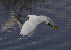 Snowy Egret (AllHarts) Tags: snowyegret stmarksnwr floridagulf tallahasseefl naturesspirit thesunshinegroup naturescarousel ngc challengeclubchampions