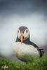 Puffin (Unst, Shetland) (Renate van den Boom) Tags: 07juli 2016 europa grootbrittannië jaar maand papegaaiduiker renatevandenboom shetland unst vogels