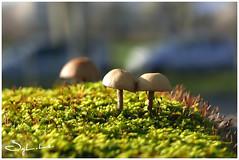 A deux c'est toujours mieux ! (Syl-la) Tags: champignons lumière bokeh mushroom light garden
