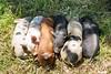 high angle view multi coloured piglets sleeping in a pile (hueymilunz) Tags: nz newzealandtransition newzealand nature rural farm fauna florafauna wellington green light
