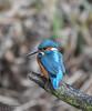 Male Kingfisher (mikedenton19) Tags: kingfisher male alcedo atthis alcedoatthis bird nature wildlife tophilllow naturereserve yorkshire water yorkshirewater yorkshirenaturetriangle