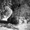 scan0008 (Champy88) Tags: bronicaec nikkorp7528 fomapan100 foma formatomedio mediumformat reflectamf5000 rodinal blancoynegro blackandwhite noiretblanc film filmphotography filmisnotdead 120film olivo olivetree olive