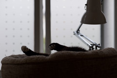 Soxi waking. (dagboshoots) Tags: waking soxi dagbo dagboshoots morning kitty lazy sunday afternoon muted colour home living receptionroom window happy