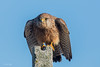 Ready for take off! (Linda Martin Photography) Tags: female dorset kestrel wildlife portland nature birds portlandbill uk falcotinnunculus naturethroughthelens alittlebeauty coth ngc coth5