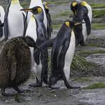 King Penguin Chick_2 thumbnail