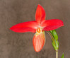 Crimson Cross (tresed47) Tags: 012018jan 2018 20180116longwoodflowers canon7d chestercounty content flowers folder january longwoodgardens macro orchid pennsylvania peterscamera petersphotos places ringflash season takenby technical us winter