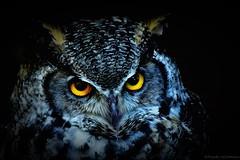 Virgina-Uhu (frauke.wichmann) Tags: virginiauhu greathornedowl eule owl bird vogel birdphotography vogelfotografie nikon nikonphotography nikond7200 iamnikon falknereibergischland falknerei animalportrait