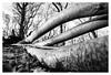 Victims of Storm David, January 18 2018 _ 2 (leo.roos) Tags: fallentree blownover uprooted broken omgewaaideboom noiretblanc trees storm gale stormdavid january182018 codered sollebos distagon1835zf carlzeiss carlzeissdistagon1835zf2 leitax amount distagon1835zf2 distagon carlzeissdistagon1835 cz a7rii darosa leoroos dayprime day18 dayprime2018 dyxum challenge prime primes lens lenses lenzen brandpuntsafstand focallength fl