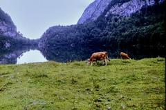 Alpine cows (Jurek.P) Tags: austria hinterergosausee salzkammergut cows lake alps mountains mountainscape scan 35mm minoltadynax7000i jurekp 1999