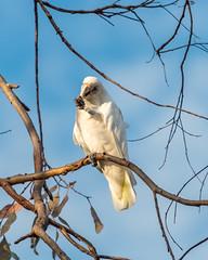 Long-billed Corella (Merrillie) Tags: nsw woywoy longbilledcorella wildlife tree corella nature bird birds australia animals fauna parrot newsouthwales animal