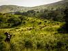 Buffalo herd... (davYd&s4rah) Tags: imfalozi hluhluwe gamereserve gamedrive southafrica afrika africa kwazulunatal herd buffalo büffel grassland berge mountains
