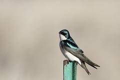 Tree Swallow, Tachycineta bicolor (jlcummins - Washington State) Tags: treeswallow toppenishwildliferefuge washingtonstate yakimacounty bird