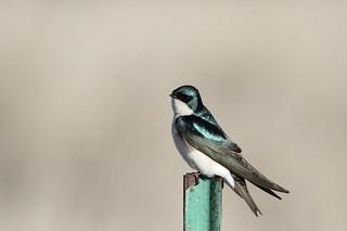 Tree Swallow, Tachycineta bicolor