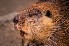Beaver 3-0 F LR 2-20-18 J278 (sunspotimages) Tags: beaver beavers nature wildlife zoosofnorthamerica zoos zoo nationalzoo fonz fonz2018