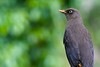 Sooty Thrush (Turdus nigrescens) (Adam Dhalla) Tags: thrush bird costa rica san jose wild miriams quetzals savegre
