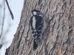 Hairy woodpecker (Picoides villosus), male (tigerbeatlefreak) Tags: hairy woodpecker picoides villosus bird nebraska