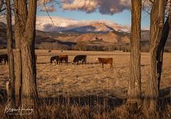 Pastoral Paradise - Boulder County, Colorado (www.rootsstudiophoto.com) Tags: coloradophotography frontrange bouldercounty publicland agriculture ranch livestock cattle cows field pasture longspeak rockymountains sunrise oldwest landscapephotography agriculturephotography