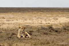 2014 07 19 @serengeti-5529-2 (- Stefano Benedetto -) Tags: serengeti serengetinationalpark pantheraleo safari tanzania wildlife wildnature