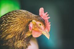 Chicken Little (Thomas Hawk) Tags: america glendale oregon southernoregon usa unitedstates unitedstatesofamerica chicken us fav10