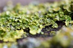 _DSC0815 (Megs svg) Tags: lichen tree plant bark green damp
