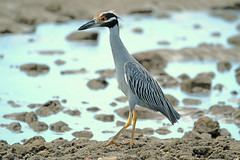Yellow-crowned Night Heron (Digital Plume Hunter) Tags: