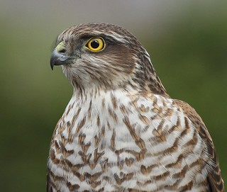 FEMALE SPARROWHAWK....Wild bird....My last Image for a while...Having a little rest from Flickr.