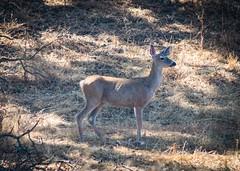 A Deer in Sunol Park No 2 (CDay DaytimeStudios w/1,000,000 views) Tags: california deer eastbayregionalparks fall fallcolor sanfranciscobayarea sunolregionalpark sunolvalley woodland