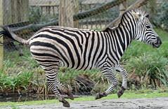 zebra Blijdorp BB2A0592 (j.a.kok) Tags: zebra africa animal afrika blijdorp mammal zoogdier dier herbivore
