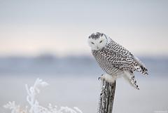 Snowy owl (andrériis) Tags: canada snow winter snowy owl