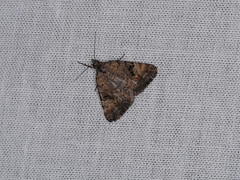 Dichromodes sp. (dhobern) Tags: 2018 australia dryandra gnaalamia january lepidoptera wa geometridae oenochrominae dichromodes