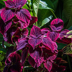 2017 - Regent Cruise - St. Lucia - Coleus to You thumbnail