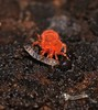 Orange velvet Mite  microtrombidiid possibly Ctenerythraeus sp Valgothrombiinae Trombidiidae hunting larvae of mold midge fly Forcipomyiinae Airlie Beach rainforest P1180452 (Steve & Alison1) Tags: orange velvet mite sp trombidiidae hunting larvae mold midge fly forcipomyiinae airlie beach rainforest microtrombidiid possibly ctenerythraeus valgothrombiinae