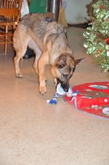 DalilahMorning-0005 (awinner) Tags: dalilah germanshepherd largoflorida december27th2016 december2016 2016 christmas toy