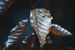 autumn beech III (CPbild) Tags: makro leaves herbst nikon d700 buche 100mm autumn beech nature outdoor blätter cpbild natur macro