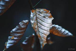 autumn beech III