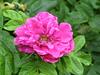 Nun tret ich wieder aus der Ruh (amras_de) Tags: rose rosen ruža rosa ruže rozo roos arrosa ruusut rós rózsa rože rozes rozen roser róza trandafir vrtnica rossläktet gül blüte blume flor cvijet kvet blomst flower floro õis lore kukka fleur bláth virág blóm fiore flos žiedas zieds bloem blome kwiat floare ciuri flouer cvet blomma çiçek
