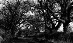 Branching out (Rogpow) Tags: isleofwight whippingham trees baretrees winter blackandwhite bnw bw mono monochrome fujifilm fuji fujixt1 shadows lightandshadows empty